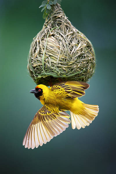 Dark Green Wall Art - Photograph - Masked Weaver At Nest by Johan Swanepoel