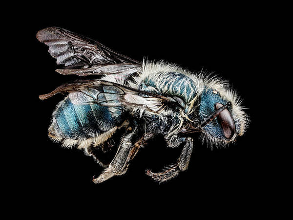 Image Stacking Photograph - Mason Bee by Us Geological Survey