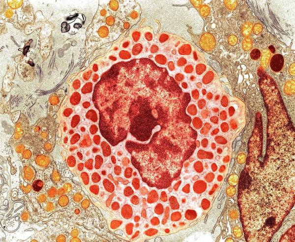 Mast Photograph - Mast Cell by Medimage/science Photo Library