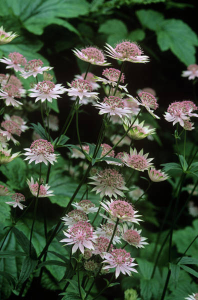 Astrantia Photograph - Masterwort (astrantia 'buckland') by Tony Wood/science Photo Library