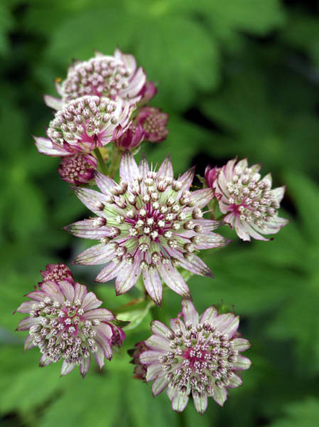 Astrantia Photograph - Masterwort (astrantia Major 'abbey Road') by Ian Gowland/science Photo Library