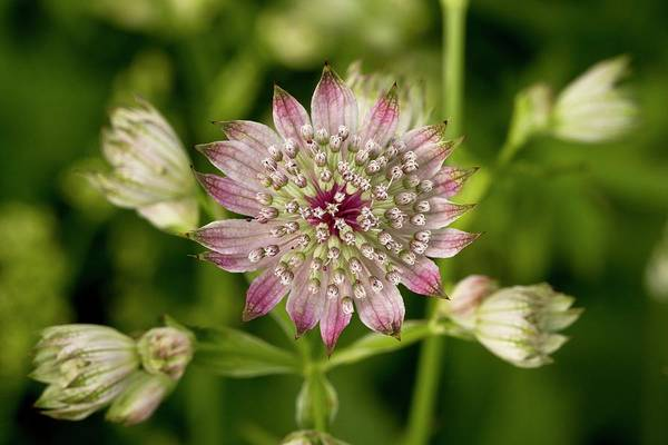 Astrantia Photograph - Masterwort (astrantia Major) by Bob Gibbons/science Photo Library