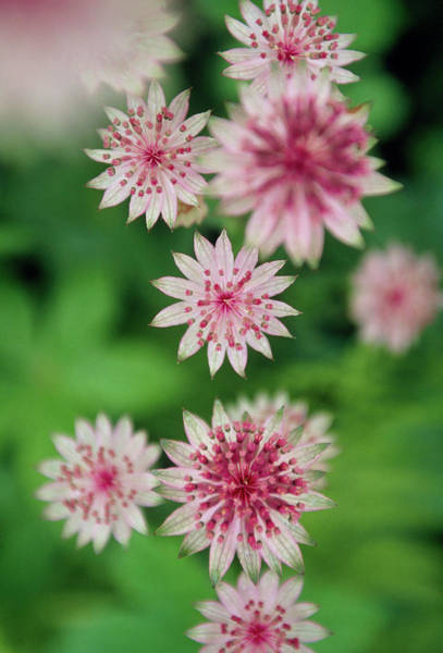 Astrantia Photograph - Masterwort (astrantia Major) by Rachel Warne/science Photo Library
