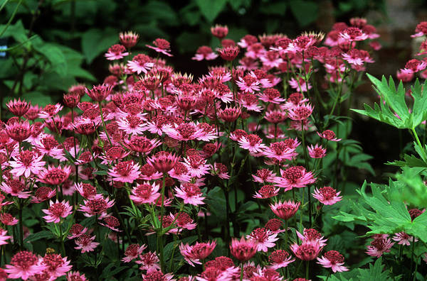 Astrantia Photograph - Masterwort (astrantia Major 'roma') by Tony Wood/science Photo Library