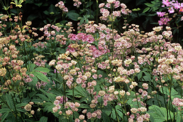Astrantia Photograph - Masterwort (astrantia Major 'rosea') by Adrian Thomas/science Photo Library