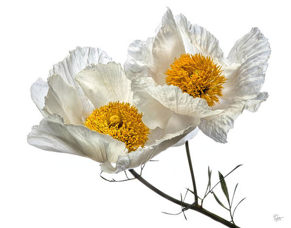 Photograph - Matilija Poppies by Endre Balogh