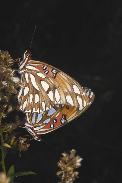 Dione Photograph - Mating Gulf Fritillaries by Gary Retherford