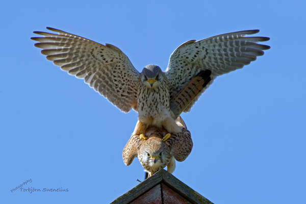 Photograph - Mating Kestrels by Torbjorn Swenelius