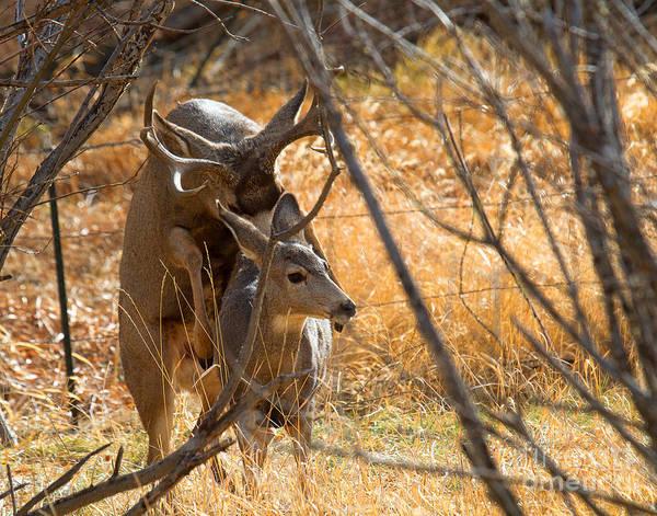 Photograph - Mating Mulies by Jim Garrison