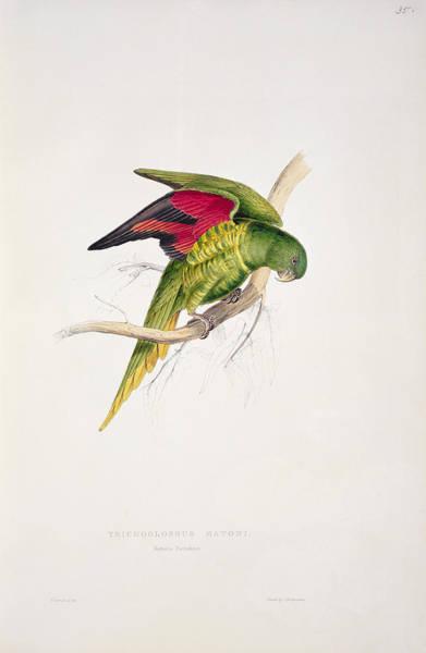 Audubon Wall Art - Painting - Matons Parakeet by Edward Lear