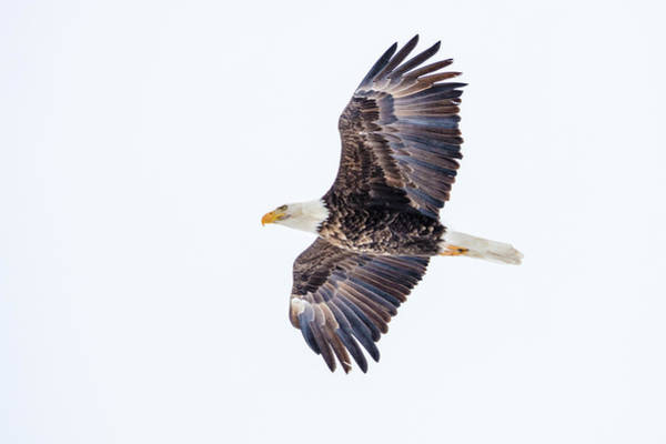 Wall Art - Photograph - Mature Bald Eagle In Flight At Ninepipe by Chuck Haney