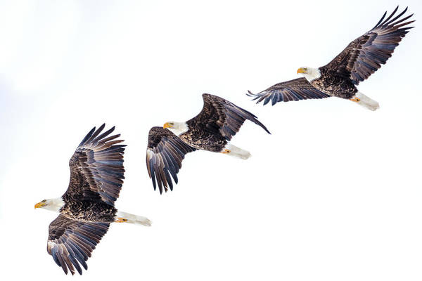 Wall Art - Photograph - Mature Bald Eagle In Flight Sequence by Chuck Haney