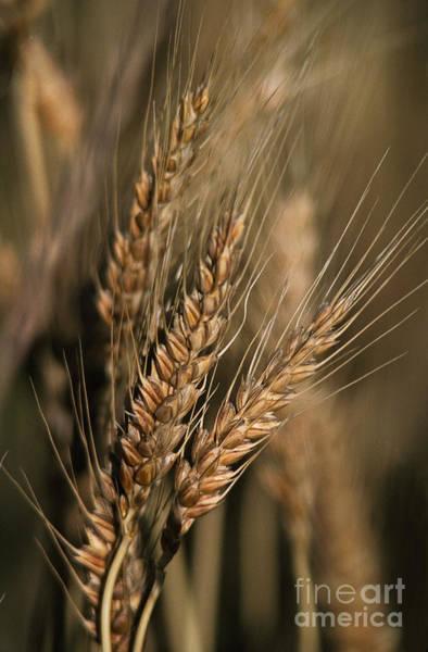 Photograph - Mature Wheat Triticum Aestivum by Ron Sanford