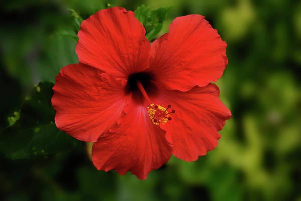 Photograph - Maui Hibiscus by Arthur Fix