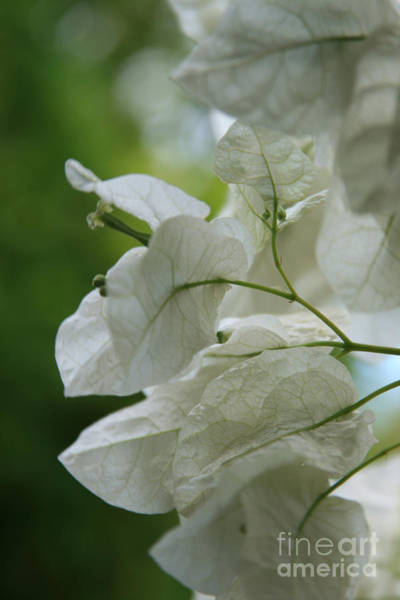 Photograph - Mauna Kea White Bougainvillea by Sharon Mau
