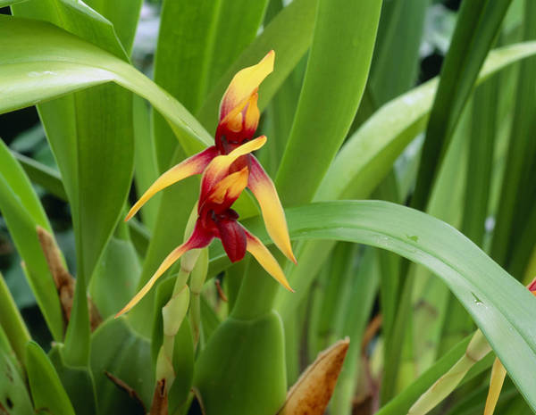 Horticulture Photograph - Maxillaria Rhombea by Geoff Kidd/science Photo Library