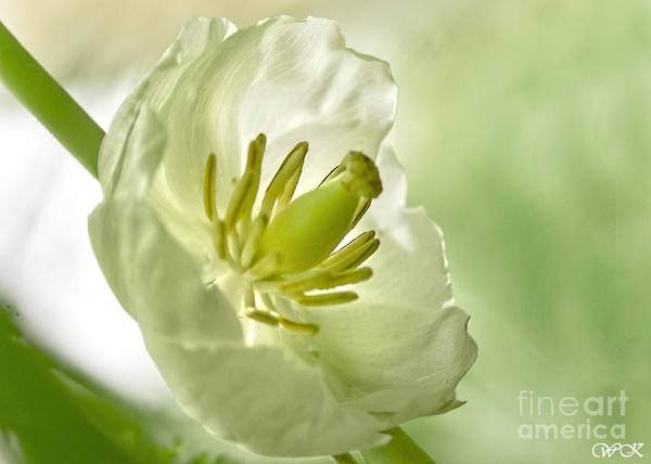 Photograph - May Apple Blossom by Wanda Krack
