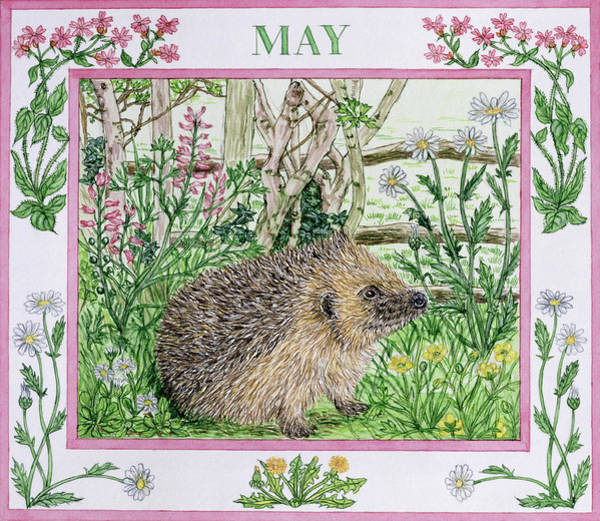 Hedgehog Photograph - May Wc On Paper by Catherine Bradbury