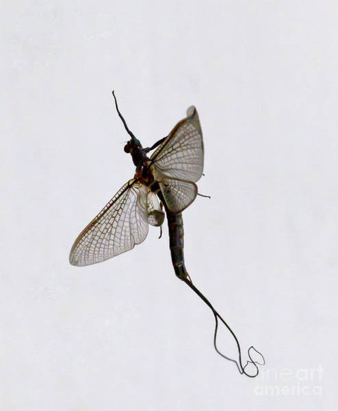 Coosa River Photograph - Mayfly   #1153 by J L Woody Wooden