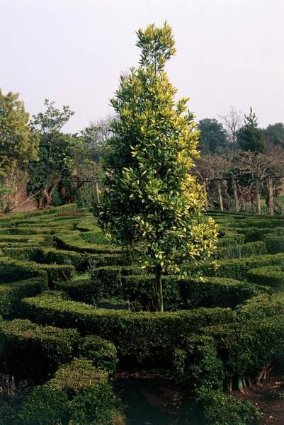Wall Art - Photograph - Maze And Laurel Tree by Terry Mead/science Photo Library