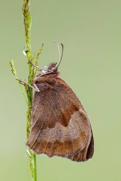 Imago Photograph - Meadow Brown Butterfly by Heath Mcdonald