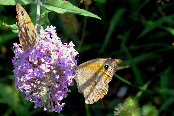 Photograph - Meadow Brown Butterfly  by Tony Murtagh