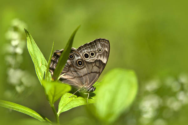 Photograph - Meadow Butterfly by Christina Rollo