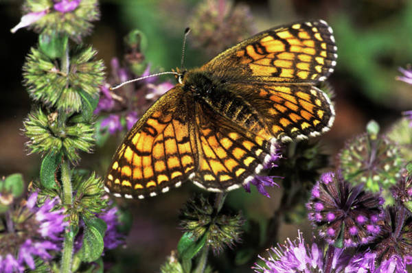 Fritillary Wall Art - Photograph - Meadow Fritillary Butterfly by M F Merlet/science Photo Library