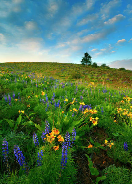 Lupines Photograph - Meadow Gold by Mike  Dawson