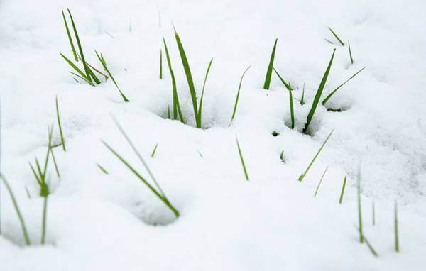 Ass Photograph - Meadow Grass (poa Sp.) In Snow by Rachel Warne/science Photo Library