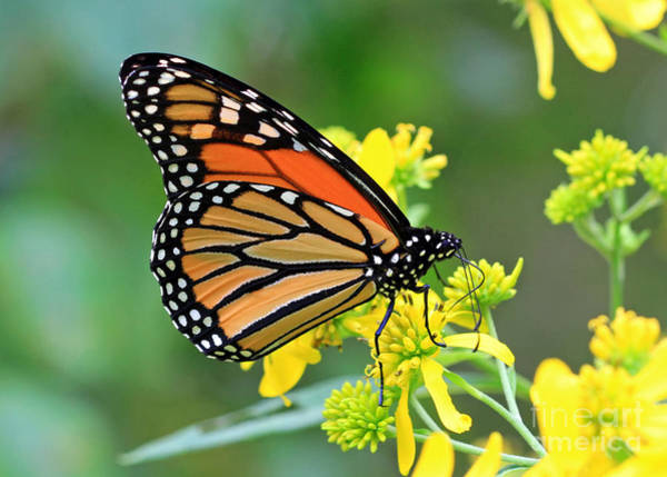 Photograph - Meadow Monarch by Geoff Crego