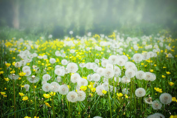 Dandelion Puff Photograph - Meadow Of Dandelions And Buttercups by Nila Newsom