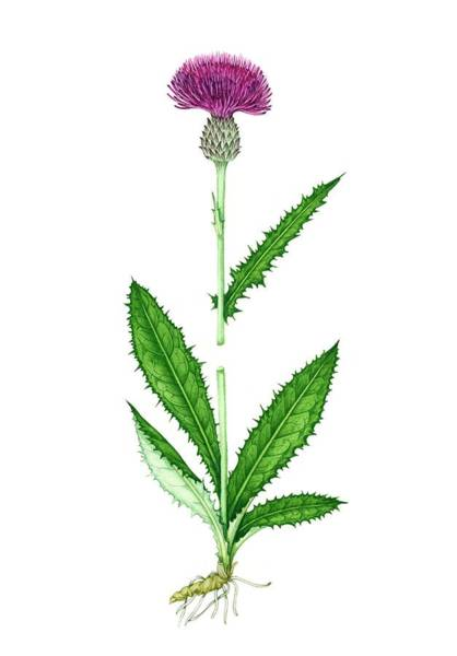 Wall Art - Photograph - Meadow Thistle (cirsium Dissectum) In Flower by Lizzie Harper/science Photo Library