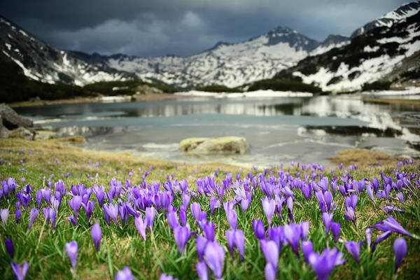 Wall Art - Photograph - Meadow With Purple Crocuses By by Maya Karkalicheva