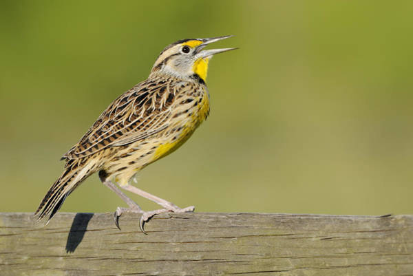 Photograph - Meadowlark Calling From A Fence by Bradford Martin