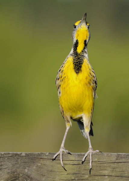 Photograph - Meadowlark Looking At You by Bradford Martin