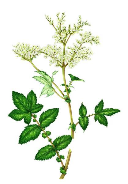 Wall Art - Photograph - Meadowsweet (filipendula Ulmaria) In Flower by Lizzie Harper/science Photo Library