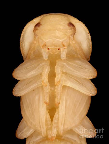 Tenebrionidae Wall Art - Photograph - Mealworm Beetle Pupa by Matthias Lenke