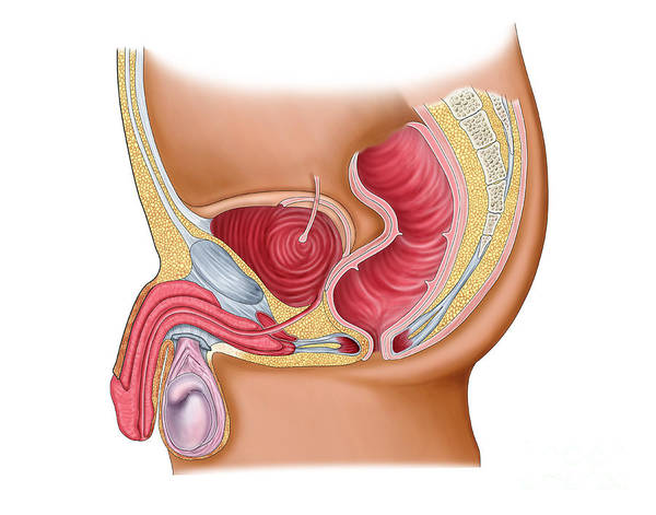 Bladder Digital Art - Medical Illustration Of A Rectourethral by Stocktrek Images
