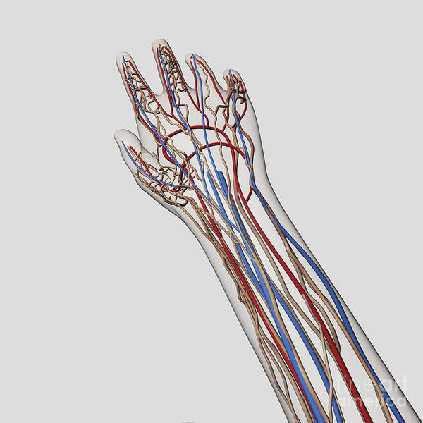 Superficial Digital Art - Medical Illustration Of Arteries, Veins by Stocktrek Images