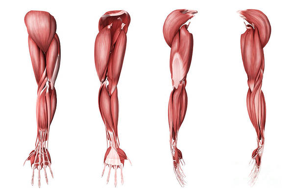Muscle Tissue Digital Art - Medical Illustration Of Human Arm by Stocktrek Images