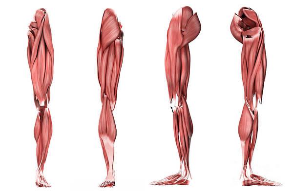 Digital Art - Medical Illustration Of Human Leg by Stocktrek Images