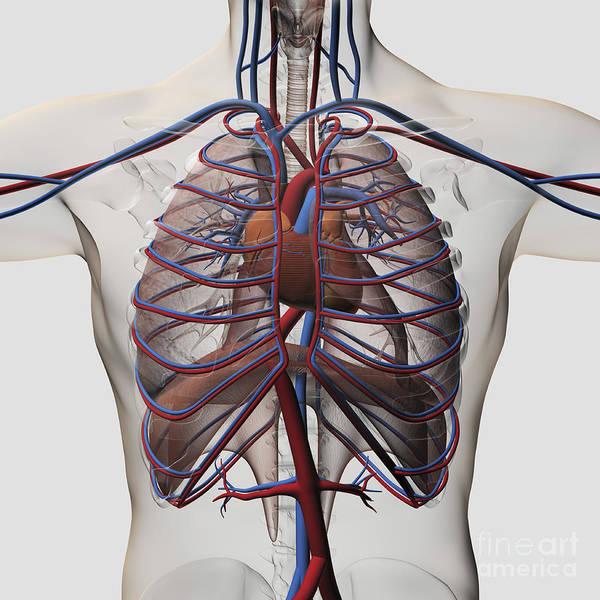 Digital Art - Medical Illustration Of Male Chest by Stocktrek Images