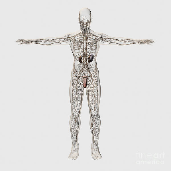 Bladder Digital Art - Medical Illustration Of Male Lymphatic by Stocktrek Images