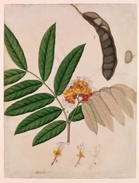Painting - Medicinal Ashoka Tree Flower, 19th by Metropolitan Museum of Art