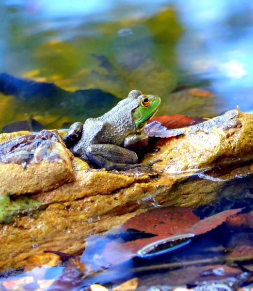 Bull Frog Photograph - Meditation by Deena Stoddard