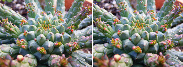 Photograph - Medusa Succulent In Stereo by Duane McCullough