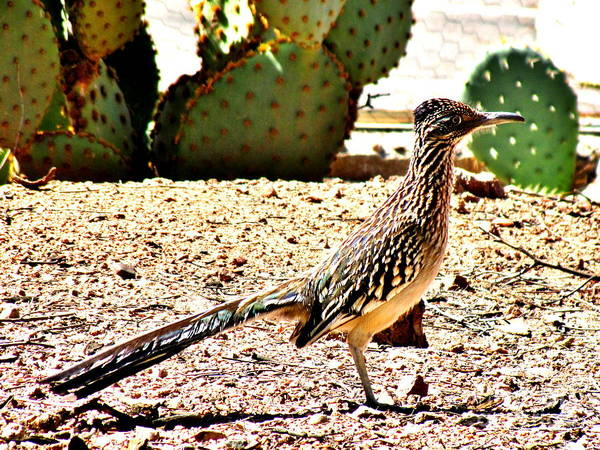 Greater Roadrunner Photograph - Meep Meep by Marilyn Smith
