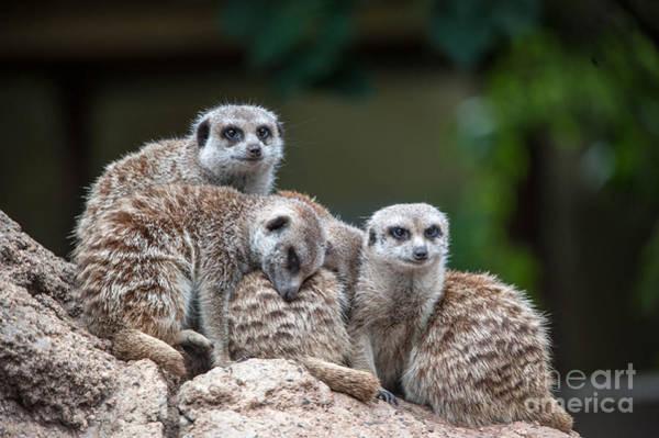 Photograph - Meerkat Family by Ray Warren