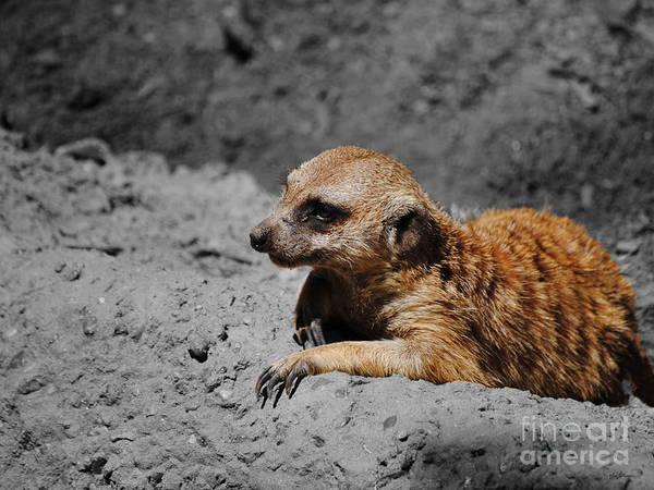 Photograph - Meerkat by Jai Johnson